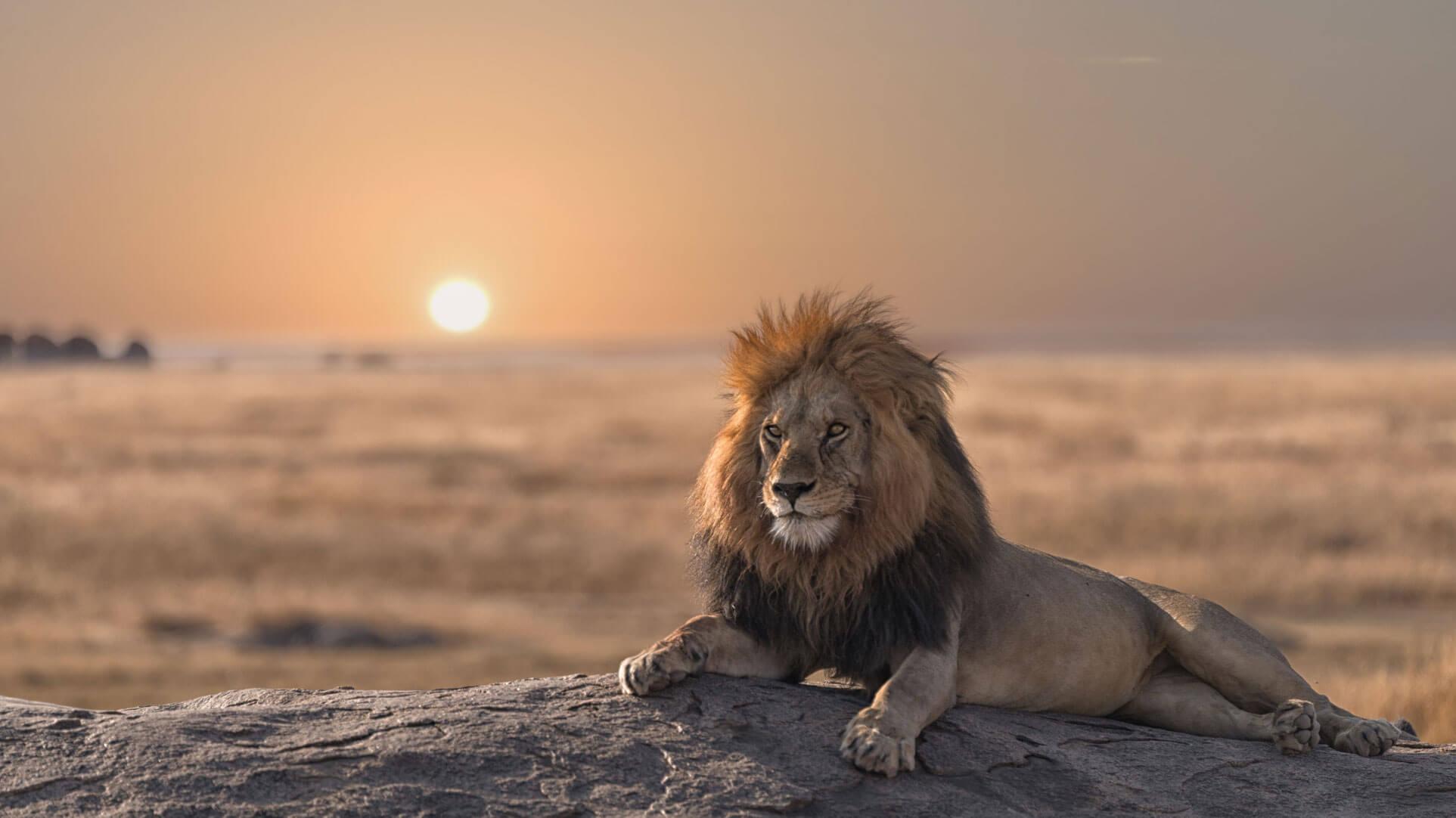 Lion safari africa sunset