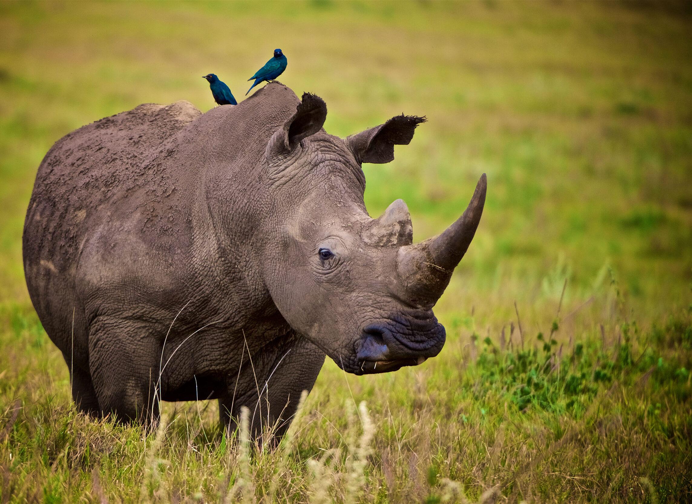 white rhino Lewa downs Kenya