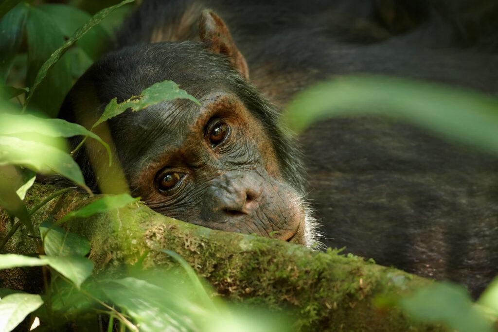 chimpanzee lying down forest family safari tanzania