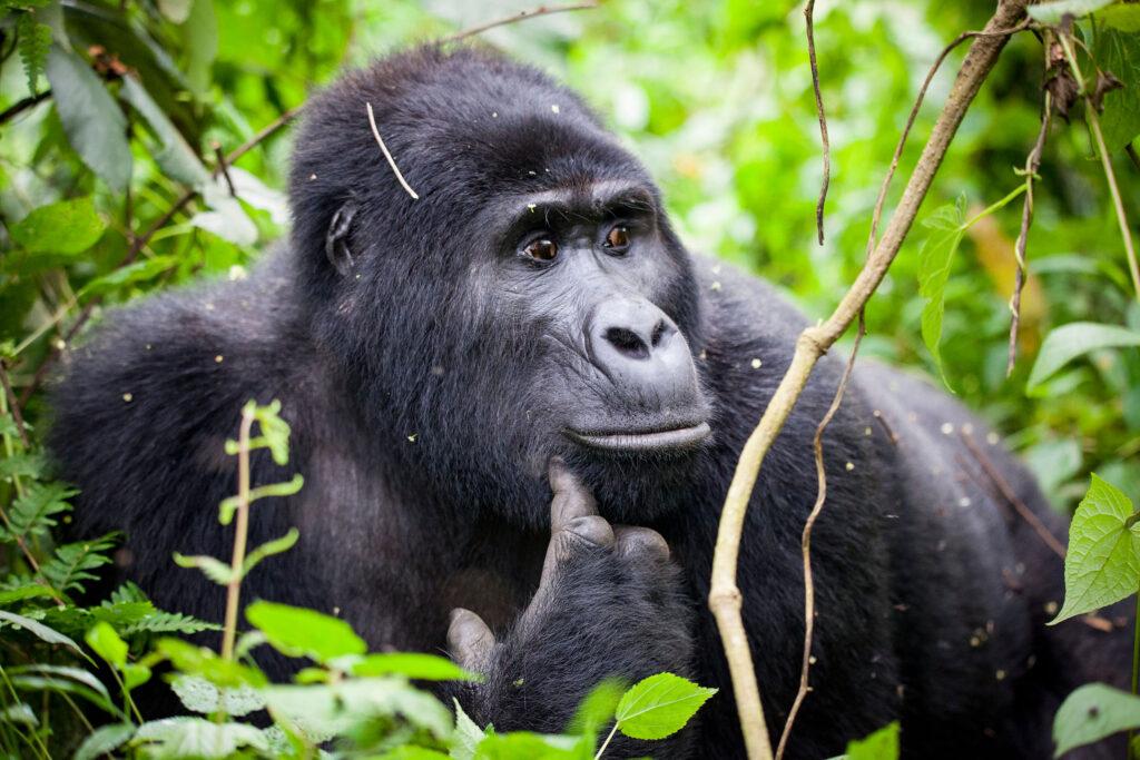 Uganda safari Bwindi Impenetrable forest gorilla