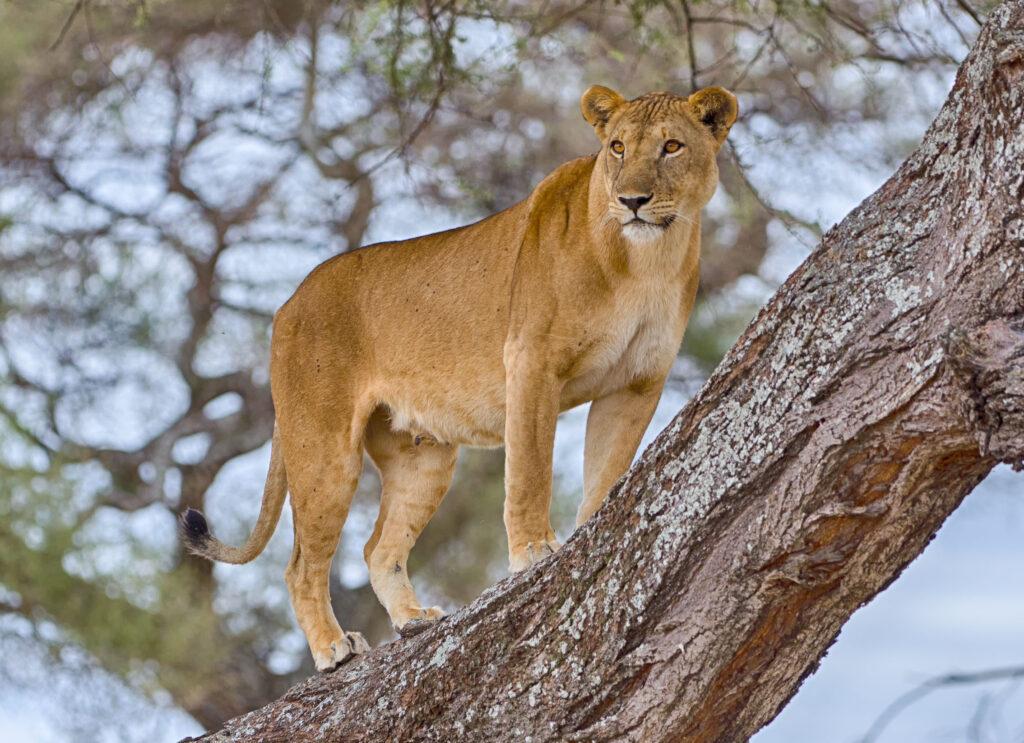 lion tree Lake Manyara family safari