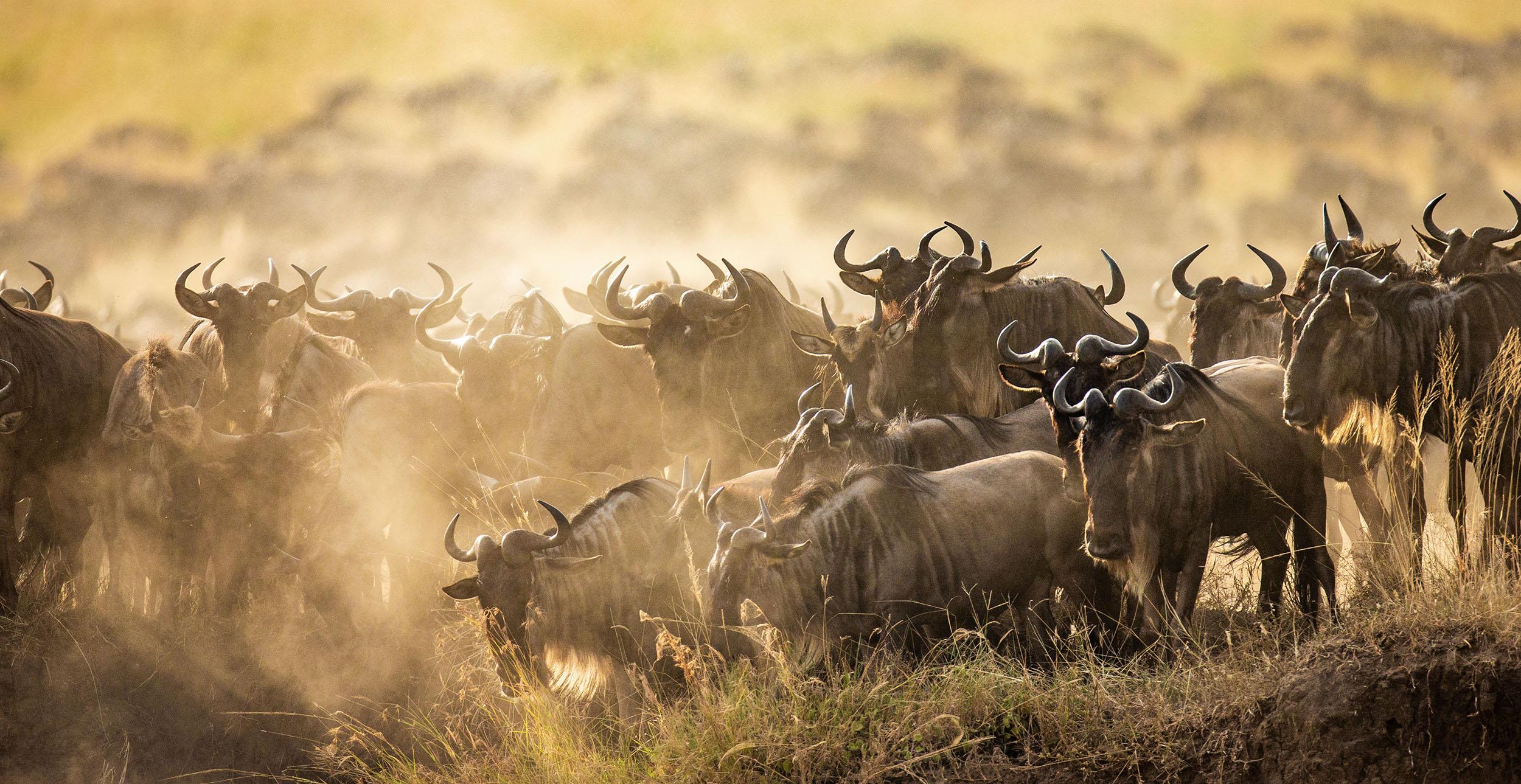 Tanzania serengeti great migration wildebeest family safari