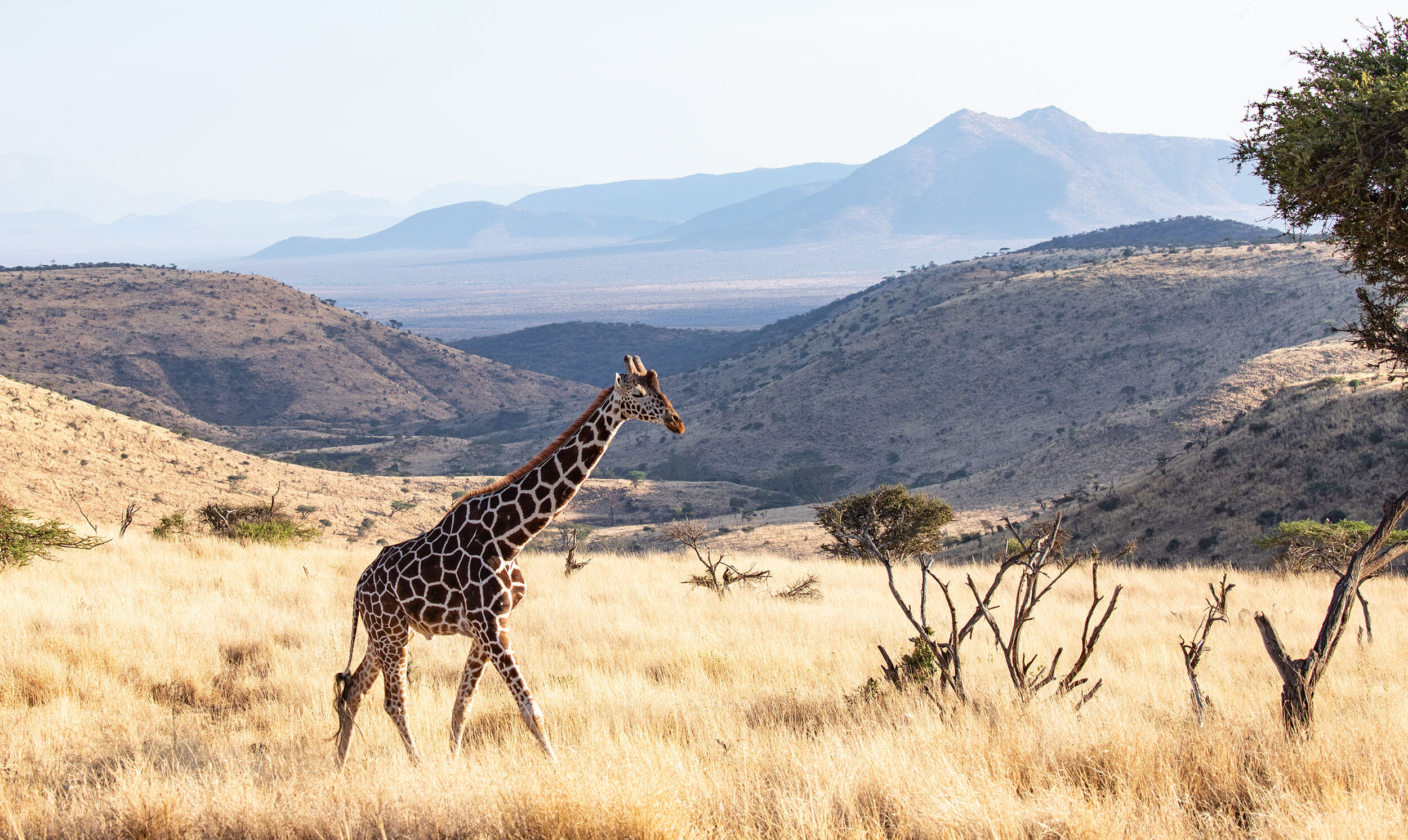 Kenya Lewa downs giraffe safari