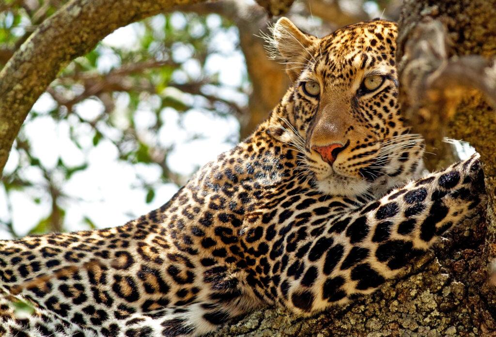 Kenya Masai Mara Leopard tree