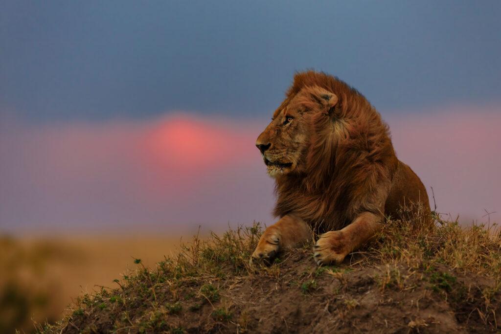 Kenya lion male sunrise masai mara