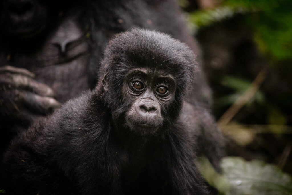 Gorilla Bwindi Impenetrable Forest