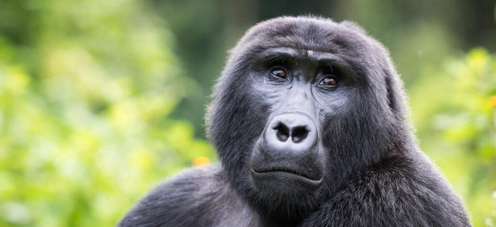 Gorilla Trekking Safari Uganda Rwanda